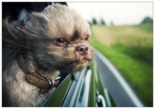 Собака в окне.